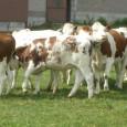 <p>Eleveurs de race Prim'Holstein et Montbéliarde, vous pouvez aujourd'hui demander le génotypage de vos femelles !</p>